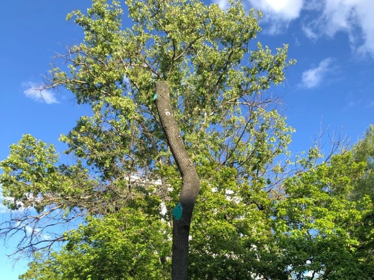 Как ярославские деревья превращаются в голые стволы